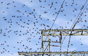 lintuja sähkölangoilla